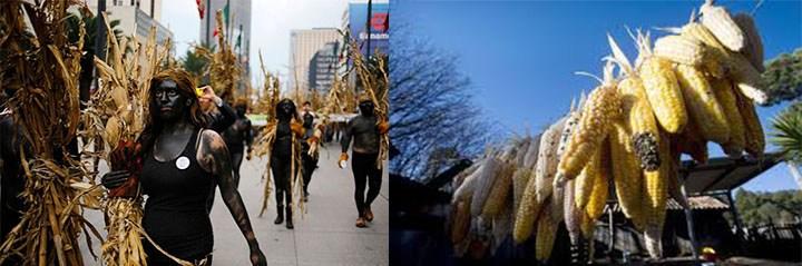 Интересные факты о кукурузе: происхождение из Мексики
